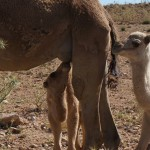 Baby Camel Suckling The Mother Along The Road
