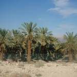 Date Tree Farm, the desert blossoms like a garden! (umm, they are delicious!)